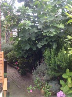 Mijn vijgenboom, die erg op de wind staat, doet het heel goed!