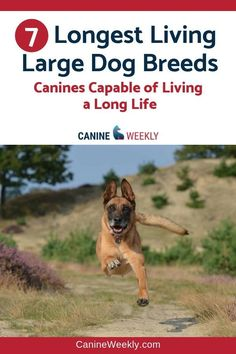 Longest Living Dog Breeds - Large dogs usually have shorter lifespans than smaller dogs, but the seven breeds listed in this article are all rather large and normally live for 10 years or more. Please check the post. Top Dog Breeds, Giant Dog Breeds, Dog Breeds List, Giant Dogs, Large Dog Breeds, Large Dogs, Best Dogs For Families, Family Dogs, Hypoallergenic Dog Breed
