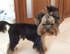 Yorkie haircuts for males and females + pictures) - Yorkie. Yorkie Cuts, Yorkie Hairstyles, Silk Hair, Yorkies, Yorkshire Terrier, Dog Grooming, Pup, Hair Cuts, Female