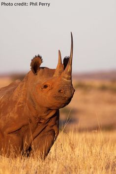 Black rhino occur throughout southern and eastern Africa, including: Kenya, Tanzania, Namibia, South Africa and Zimbabwe