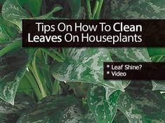 [Top Tips] How To Clean Plant Leaves On Houseplants - House Plants - ideas of House Plants - Cleaning plant leaves and grooming houseplants can be time-consuming but proper plant care keeps plants healthy and enhances their appearance.