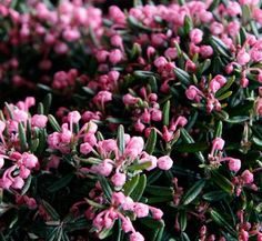~ Andromeda polifolia ~ Bog Andromeda ~ Zone 2 ~ Height: 2 feet ~ Width: 2 feet ~ Blooms in the spring Dog Nursery, Plant Nursery, Small Shrubs, Small Trees, Digging Dogs, Mail Order Plants, Plant Delivery, Rock Garden Plants, Ice Plant