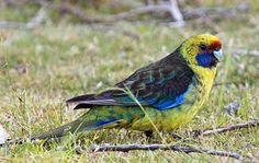 Green (Tasmanian) Rosella
