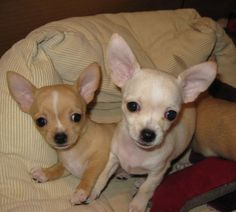 14 Signs You Are A Crazy Chihuahua Person