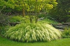 Golden Japanese Forest Grass planted by around a Japanese Maple. - by Stark Bros