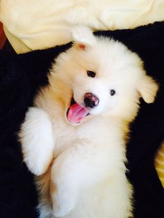 Samoyed puppy - cutest thing alive.