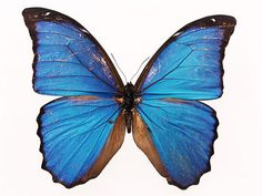 This high quality free PNG image without any background is about butterfly, insects, bloodworm, wings and pairs. Butterfly Video, Butterfly Images, Blue Butterfly, Butterfly Wallpaper, Free Pictures, Free Images, Glass Tile Pendant, Nature Gif, Png Photo