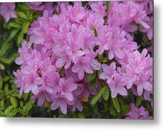Pink Bloom Of Rhododendron Helena Metal Print by Jenny Rainbow. All metal prints are professionally printed, packaged, and shipped within 3 - 4 business days and delivered ready-to-hang on your wall. Choose from multiple sizes and mounting options. Art Prints For Home, Home Art, Fine Art Prints, Framed Prints, Everything Pink, Got Print, Any Images, Fine Art Photography, Pink Color