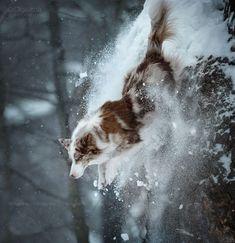 Snowstorm - Border collie Bozz #bordercollie