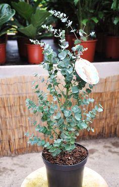 Kräftige Pflanzen mit einer Lieferhöhe von 60-70cm mit Topf.        EucalyptusAzurea ist eine Neuheit, welche zudem noch eine Frostverträglichkeit von ca. -20°C aufweißt.