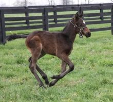 Baby Zenyatta is growing up. . perfect little foal  March 26. Photo by Alys Emson/Lane's End