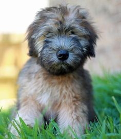 i just discovered soft coated wheaten terriers. precious.. Visit http://www.pinterest.com/debeloh for more!