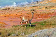 Guanaco - photo taken on Tierra del Fuego, Argentina