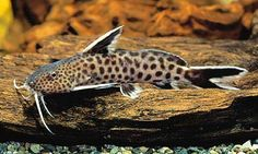 Synodontis lucipinnis   I have two tank bred siblings that are wonderful in my community tank~