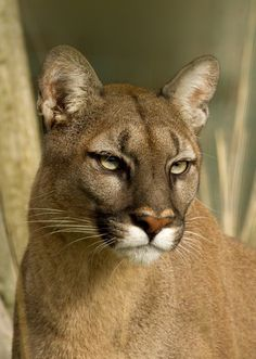 ~~Puma Stare by Val Saxby~~