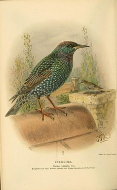 Starling, Coloured Figures of the Birds of the British Islands / issued by Lord Lilford, 1885-1897