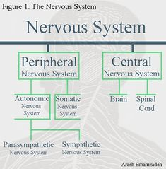 Nerve Anatomy, Brain Anatomy, Medical Anatomy, Human Anatomy And Physiology, Nervous System Anatomy, Human Nervous System, Science Biology, Medical Science, Science Facts