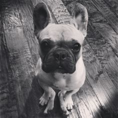 French Bulldog CeCe