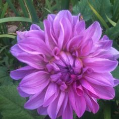 Dahlia that Betty shared with me