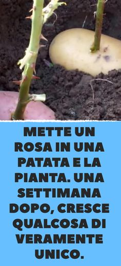 He puts a rose in a potato and the plant.- Mette un rosa in una patata e la pianta. Una settimana dopo, cresce qualcosa di … He puts a rose in a potato and the plant. A week later, something truly unique is growing. Green Beans, Floral Arrangements, Mason Jars, Vegetables, Terrazzo, Anna, Xmas, Gardening, House