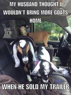 Goat life