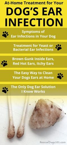 Discover how to treat your dogs ear infection without going to the vet. the number one secret to getting rid of your dogs ear infection at home is. over-the-counter dog ear infection medicine. via Rescue Dogs 101 animals animal dog animaux Dog Ear Infection Medicine, Ear Infection Home Remedies, Dogs Ears Infection, Ear Medicine For Dogs, Dog Ear Infection Treatment, Labrador Retriever, Golden Retriever, Dog Health Tips, Pet Health