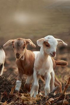 Hey. Baby. Goats. Are.  Cute.   Pets.  To have. On. A. Farm.