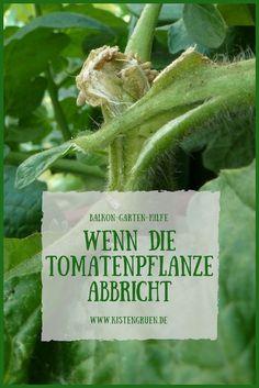 Tomatenpflanze abgebrochen - was tun? #balkon #garten #tomaten #tomatenanbau #gartentipp
