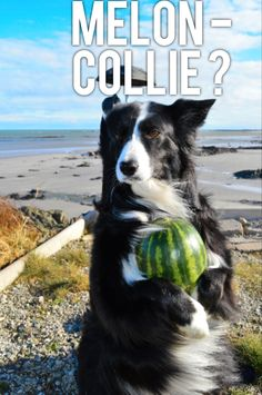 """Connie....I'm not as Melon Collie as I look..."" says Asha the border collie"