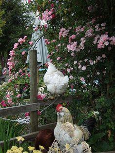 chickens in a cottage garden