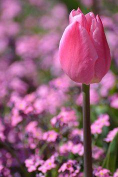 """""""Knallige Tulpenpracht"""" von Nina_Klee im aktuellen CEWE Fotowettbewerb https://contest.cewe-fotobuch.de/garten-und-kultur-2016 #cewefotowettbewerb #garten #kultur"""