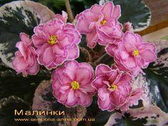 Малинки.  Морев. Крупные махровые розовые цветы с фантазийной каймой. Пестролистник.