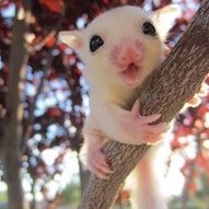 Great care sheet for new sugar glider owners! Cute Funny Animals, Cute Baby Animals, Animals And Pets, Sugar Glider Baby, Sugar Gliders, Baby Skunks, Spiritual Animal, Sugar Bears, Cute Little Things