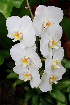 Butterfly Plant (Phalaenopsis amabilis)