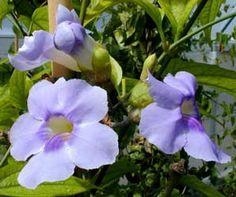 Tumbergia azul, Enredadera de trompeta azul, Bignonia azul  Para la pérgola, en maceta. Variedad blanca