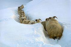 Sheep in snow - taken for 2010 Countryfile calendar