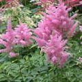 Perennials That Can Tolerant the Abuse of Road Salt: Astilbe (Astilbe)