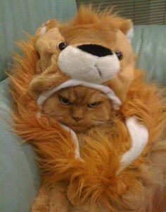 humph :3 cat lion so cute