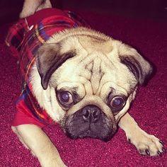 Love the PJs: @hermestthepug - - #puppylove #doglover #dogoftheday #instapet #doggy #doglovers  #dogsofig #doglife #dogsofig #doglife #doggie #doglove #happydog #hund #perro #dogscorner #dogsofinstaword #chien  #doge #dogloverstagram