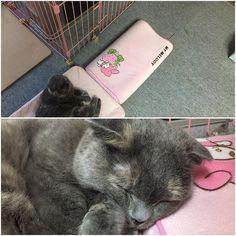 ストーブで猫のヒゲくるんとして焦げたや背中が焦げたというツイートをTwitterで多く見かける。  猫のヒゲの根元は神経が通っています。  感覚器という事忘れないで‼️ ヒゲが焦げたなんて危険だという事忘れないで。 大火傷の危険もありますよ‼️ 猫のヒゲについて→http://ww3.tiki.ne.jp/~nsasax/pet/watch/body-hige.html  猫がストーブにいる時は必ず注意を‼️ 家はストーブ全体を囲い近寄れない様にしています。  #スコのお手手を守って#スコティッシュフォールド#スコ#手#猫#ねこ部#ねこら部#cat#キャット#ぬこ#手#愛猫#愛#ロシアンブルー#すこ#すこてぃっしゅふぉーるど#にゃび#scottishfold#手#お手手#ねこもふ団#ペコねこ部#pet#スコティッシュ#cat#love#follow#ストーブ#猫ストーブ危険#火傷