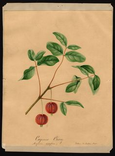 Artist:     Prestele, William Henry, 1838-1895  Scientific name:     Eugenia uniflora  Common name:     Surinam cherry  Physical description:     1 art original : col. ; 18 x 24 cm.  NAL note:     Assigned specimen number  Specimen:     [00326]  Notes on original:     cayenne cherry