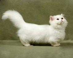 short legged cats | the short legged Napolean cat | C...9cats exotic (≡・x ...