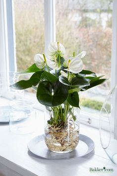 bare rooted anthurium growing in water hydroculture blomster pinterest water. Black Bedroom Furniture Sets. Home Design Ideas