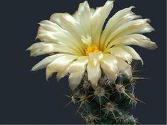 Çiçek açmış kaktüs resimleri, çok güzel çiçekli kaktüsler 2, Kaktüs Çicekleri, Kaktüs Resitali, Cactus picture, cactus and flowers, Kaktüslerin Bu Kadar Güzel Olabileceğini Bilirmiydiniz, Çicek Açmış