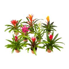 IKEA - BROMELIACEAE, Potted plant Maybe good for right and left sides at ceremony