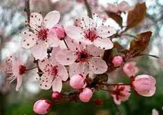 Purple leaved plum' – A bushy, medium sized deciduous tree, hardy and grows well in most soils. White and pale pink flowers open in late winter Deciduous Trees, Trees And Shrubs, Prunus, Specimen Trees, Pale Pink, Pink Flowers, Flower Arrangements, Plum, Flora