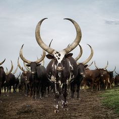 """Cattle -photographed by South African photographer Daniel Naudé, whose collection of cattle photos will be entitled """"Sightings of the Sacred.""""  The photos are taken all over the world. 