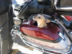 PET CARRIERS FOR MOTORCYCLES TANKS - Google Search