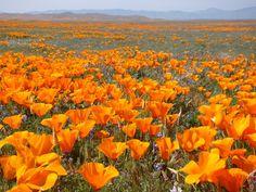 Mojave Desert Poppies by *Geotripper on deviantART
