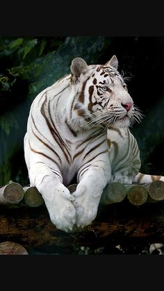 New Pics Bengal Cats snow Thoughts Primary, let's discuss precisely what is truly a Bengal cat. Bengal cats and kittens absolutely are a pedigree. Beautiful Cats, Animals Beautiful, White Bengal Tiger, Bengal Cats, White Tigers, White Lions, Mon Zoo, Tiger Artwork, Big Cats Art